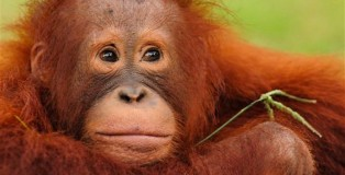 BOS Orangutan Release Program