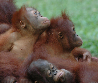 Group of Orangutans in Borneo