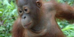 Released Orangutan by Palm Oil Action Organisation Australia
