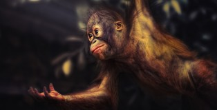 Baby Orangutan offers his hand