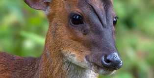 southern red muntjac or barking deer