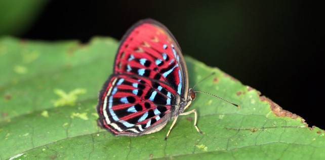 Malay Harequin red butterfly