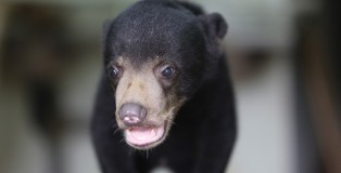 Baby Sun Bear in Rehabilitation